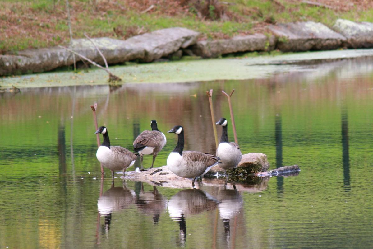 Geese at Leonard's Pond